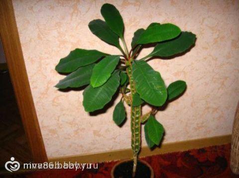Картинки редкие растения каланхоэ